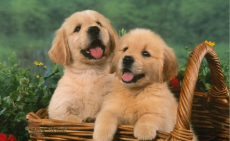 Golden retriever puppies breeders in illinois
